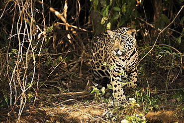 A Jaguar (Panthera onca) is prowling through dense forest in Brazil. It has a yellowish-brown coat with black spots and golden brown eyes, Pantanal, Mato Grosso do Sul, Brazil