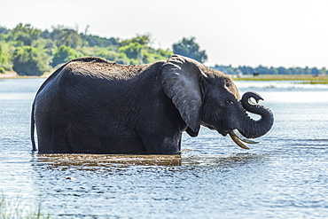 African Bush Elephant (Loxodonta africana) standing in river folds up trunk, Botswana