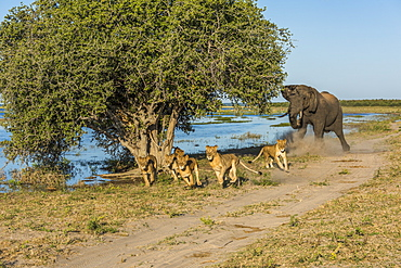 African Bush Elephant (Loxodonta Africana) chases six lions (Panthera Leo) away beside river, Botswana