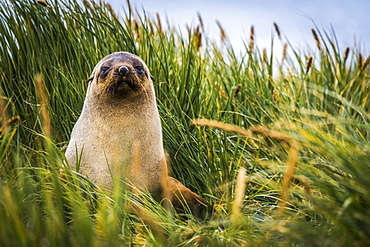 Antarctic fur Seal (Arctocephalus gazella) sitting in tussock grass, Antarctica