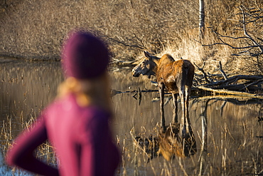 A young woman blurred in the foreground as she stands watching a cow moose (alces alces) in the pond nearby, Anchorage, Alaska, United States of America