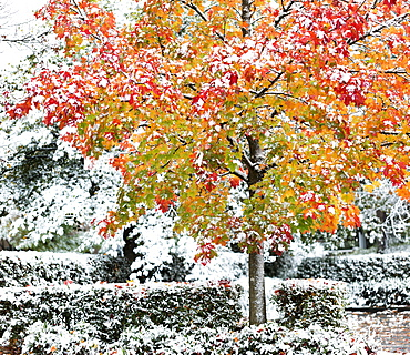 A dusting of snow over hedges and shrubs, and covering a maple tree in autumn colours, Surrey, British Columbia, Canada