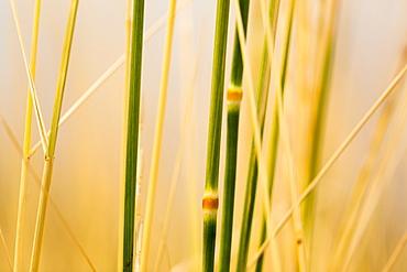 Extreme close-up of tall grasses in gold and green, Naramata, British Columbia, Canada