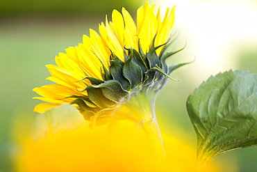 Close-up of a sunflower in bloom, Surrey, British Columbia, Canada
