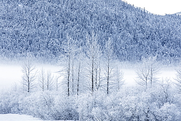 Hoar frost covers birch trees in a wintery landscape with a hillside of evergreen trees in the background, Seward Highway, South-central Alaska, Portage, Alaska, United States of America