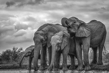 African Bush Elephants (Loxodonta africana) standing by water, Ethiopia