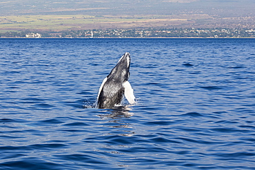 A newborn Humpback Whale (Megaptera novaeangliae) breaches, Maui, Hawaii, United States of America
