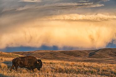 Bison (bison bison) grazing at sunset, Grasslands National Park, Saskatchewan, Canada