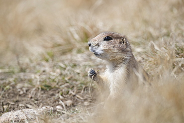 Black-Tailed Prairie Dog (Cynomys ludovicianus), Grasslands National Park, Saskatchewan, Canada