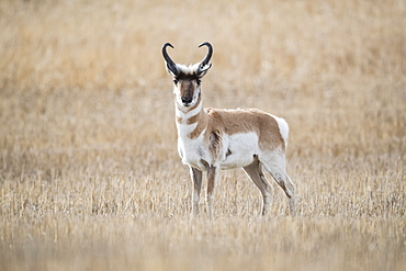 Pronghorn Antelope (Antilocapra americana) on the prairies, standing in a brown grass field looking at the camera, Saskatchewan, Canada