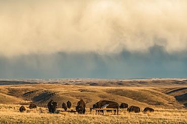 Bison in Grasslands National Park, Saskatchewan, under a stormy sky, Val Marie, Saskatchewan, Canada