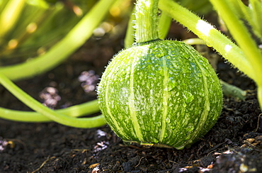 Close-up of a round green squash on the vine in the garden with water droplets, Calgary, Alberta, Canada