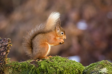 Red Squirrel (Sciurus vulgaris) eating from it's hand while standing on a moss covered rock, Dumfries and Galloway, Scotland