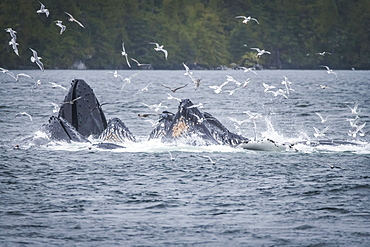 Whales breaching off the coast with a flock of seagulls flying around over the surface of the water. Whale watching tour with Prince Rupert Adventure tours, Prince Rupert, British Columbia, Canada