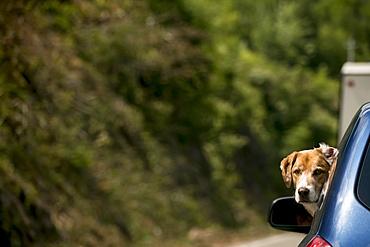 A dog sticking it's head out a car window, Cabot Trail, Nova Scotia, Canada