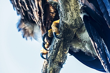 Talons of an immature Bald Eagle (Haliaeetus leucocephalus) shown gripping a tree branch, just fledged from nest, Yukon, Canada