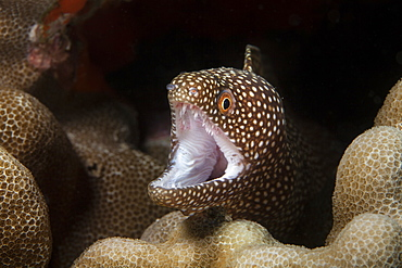 A close-up underwater view of a Whitemouth Moray eel (Gymnothorax meleagris), Wailea, Wailea, Maui, Hawaii, United States of America