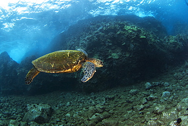 An underwater view of a Hawaiian Green Sea Turtle (Chelonia mydas), Makena, Maui, Hawaii, United States of America