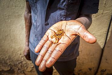 A hand holding flying ants, Gulu, Uganda