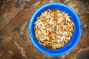 A blue pail full of White ants (Isoptera), Gulu, Uganda