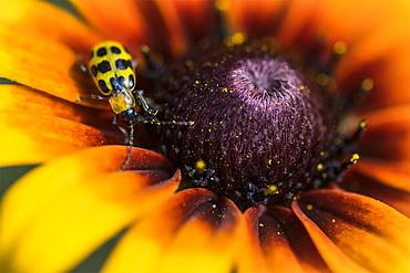 A Cucumber Beetle (Diabrotica undecimpunctata) explores a Black-eyed Susan (Rudbeckia hirta) in a flower garden, Astoria, Oregon, United States of America