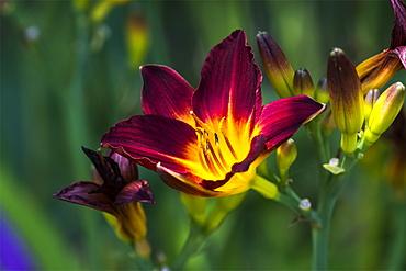 A Daylily (Hemerocallis) blooms in a flower garden, Astoria, Oregon, United States of America