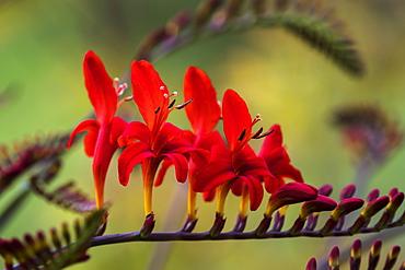 Lucifer Crocosmia blooms in a flower garden, Astoria, Oregon, United States of America