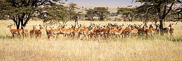 Panorama of female impala (Aepyceros melampus) standing in grass, Maasai Mara National Reserve, Kenya
