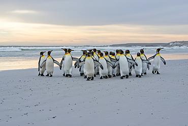 King Penguins (Aptenodytes patagonicus) walking together on the shore, Volunteer Point, Falkland Islands
