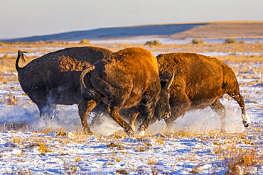 Three bison (Bison bison) showing aggression in a field with snow, Denver, Colorado, United States of America