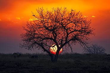 Dramatic sunset with the sun sinking behind a silhouetted tree and the sky glowing red and yellow, Denver, Colorado, United States of America