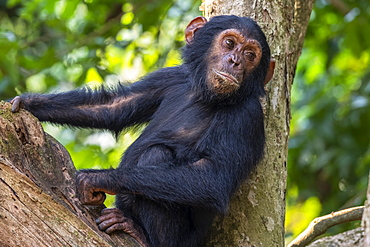 Young Chimpanzee (Pan troglodytes) resting in a tree in Mahale Mountains National Park on the shore of Lake Tanganika, Tanzania