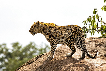 Female Leopard (Panthera pardus) surveys its territory from atop a large boulder in Serengeti National Park, Tanzania