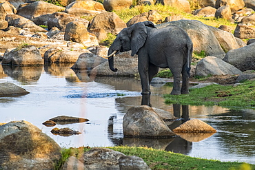 African Elephant (Loxodonta africana) with partial reflection drinks from a quiet pool in the Ruaha River in Ruaha National Park, Tanzania