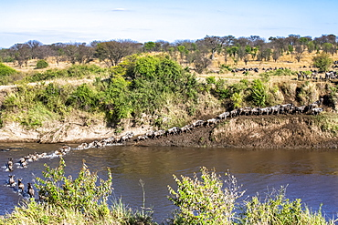 Herd of Wildebeest (Connochaetes taurinus) crossing the Mara River and climbing out on the far bank in Serengeti National Park, Tanzania