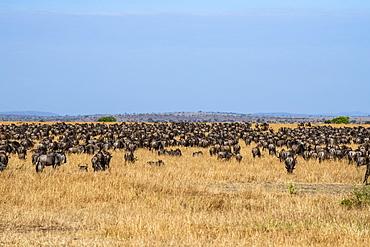 Dense herd of Wildebeest (Connochaetes taurinus) in the dry grasslands of the Serengeti Plains, Serengeti National Park, Tanzania