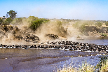 Large herd of Wildebeest (Connochaetes taurinus) kick up dust as they plunge down a steep bank to cross the Mara River, Serengeti National Park, Tanzania