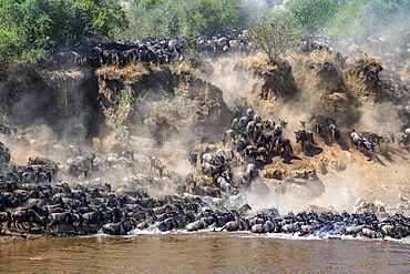 Large herd of Wildebeest (Connochaetes taurinus) kick up dust as they descend a steep bank to cross the Mara River, Serengeti National Park, Tanzania