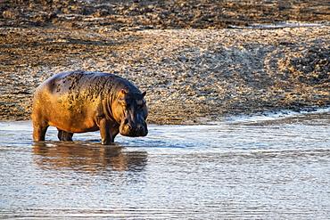 Hippopotamus (Hippopotamus amphibious) standing ankle-deep in shallow water in Katavi National Park, Tanzania