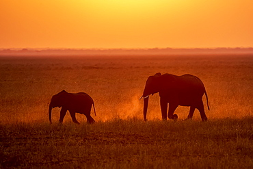 African Elephant (Loxodonta africana) cow and calf kicking up dust while walking through grassy plains, backlit by setting sun, Katavi National Park, Tanzania