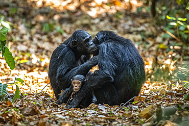 Female Chimpanzees (Pan troglodytes) grooming each other while one of their babies sits between them in Mahale Mountains National Park on the shores of Lake Tanganyika, Tanzania