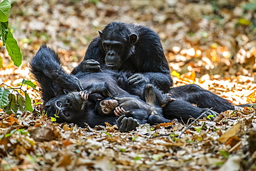 Female Chimpanzee (Pan troglodytes) lying on its back with baby in arms is groomed by another female in Mahale Mountains National Park on the shores of Lake Tanganyika, Tanzania