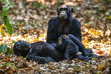 Female Chimpanzee (Pan troglodytes) lying on her back cradles her baby while another female Chimpanzee looks on in Mahale Mountains National Park on the shores of Lake Tanganyika, Tanzania