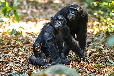 Female Chimpanzee (Pan troglodytes) and a tiny baby in Mahale Mountains National Park on the shores of Lake Tanganyika, Tanzania