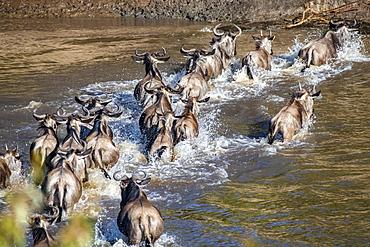 Wildebeest (Connochaetes taurinus) splash through the Mara River, Serengeti National Park, Tanzania