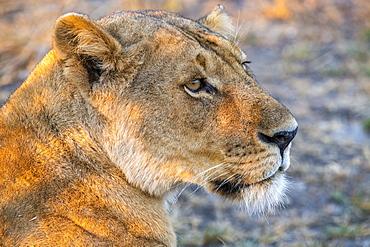 Close-up portrait of lioness (Panthera Leo), Katavi National Park, Tanzania