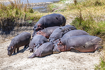 Group of Hippopotamus (Hippopotamus amphibious, ) with Red-billed Oxpeckers (Buphagus erythrorhynchus) lie on sandy river bank in Katavi National Park, Tanzania