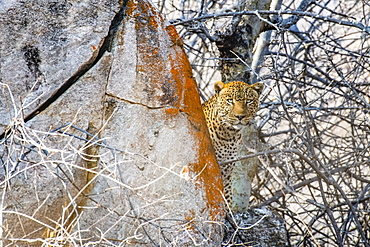 Leopard (Panthera pardus) peers from behind a lichen-covered rock in Ruaha National Park, Tanzania