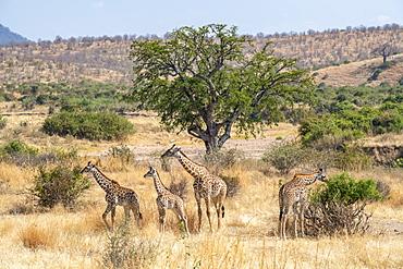Adult Maasai Giraffe (Giraffa camelopardalis) with three young Giraffes in the golden dry savannah of Ruaha National Park, Tanzania