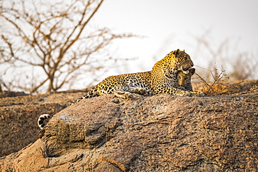 Leopard (Panthera pardus) lays on a rock looking to the right, Northern India, Rajasthan, India